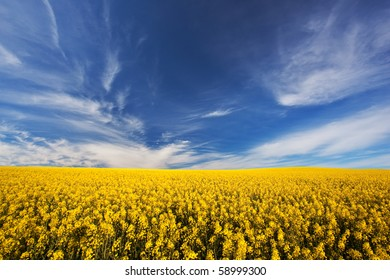 Image of a canola crop on a farm in South Africa