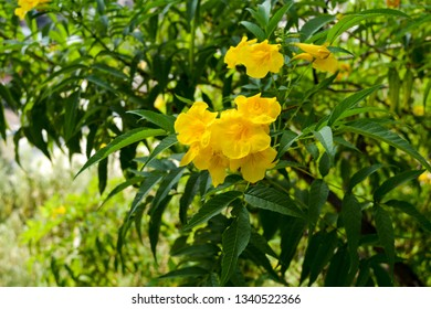 The image was captured in a park in Satara district in Maharashtra state, India. It shows a group of yellow Dipladenia Citrine Mandevilla flowers.