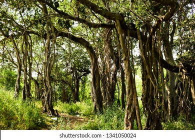The image was captured at Satara district in Indian state of Maharashtra. It shows a banyan tree in a jungle.