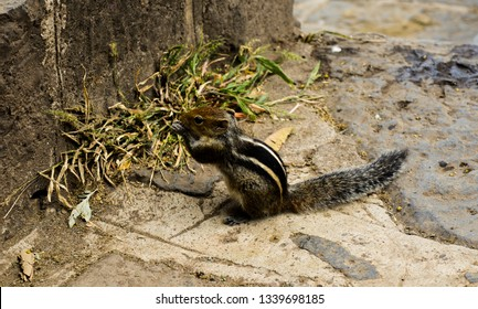 The image was captured at Satara district in Maharashtra state, India. It shows a lone squirrel eating food.