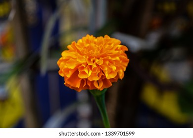 The image was captured at Satara district in Maharashtra state, India. It shows an isolated Marigold flower.