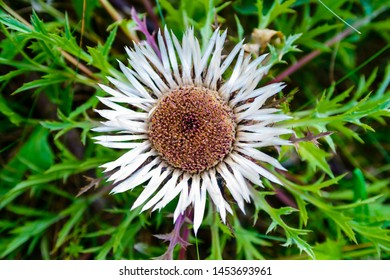Image of Carline thistle - Carlina acaulis - with open blossom - flower - one of the Polish symbols of the Pieniny Mountains