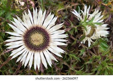 Image of Carline thistle (Carlina acaulis) with open blossom.