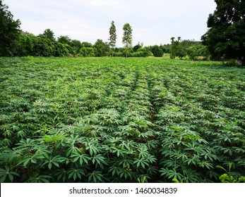 Image of Cassava plantation in the field.Young shoots of green cassava.Tapioca fields on natural background. Grow cassava. Season of planting cassava.