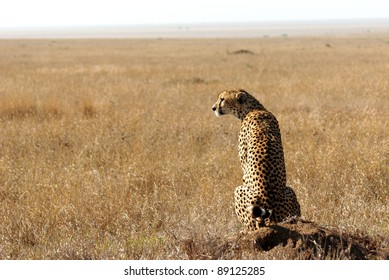 Image of a cheetah in savanna looking away