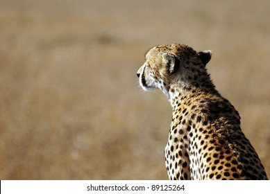 Image of a cheetah watching savanna