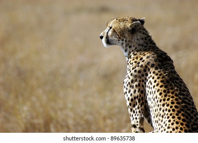 Image of a cheetah in the wild