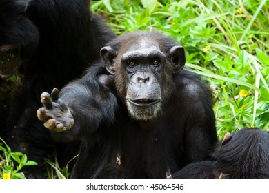 Image of chimpanzee is begging some feed.