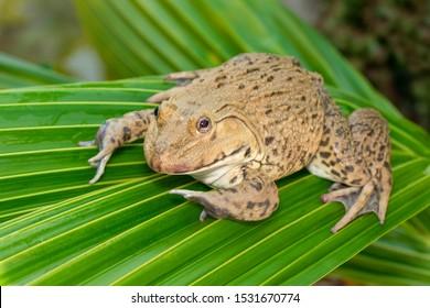 Image of Chinese edible frog, East Asian bullfrog, Taiwanese frog (Hoplobatrachus rugulosus) on the green leaves. Amphibian. Animal.