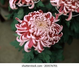 An Image of Chrysanthemum