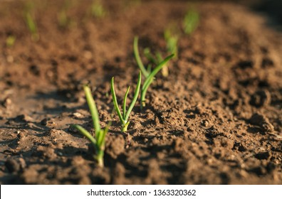 Image - Close up photo of young and small onions in rows. Onion plants growing in the clay soil in springtime on sunset. Onion is growing in the dark brown soil - beautiful blurred background