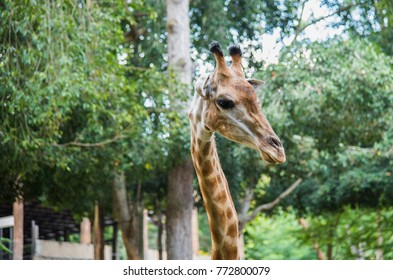 image of a close-up giraffe on a natur background , animal wildlife