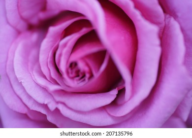 An image of Close-Up Of Rose