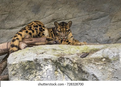 Image of a clouded leopard relax on the rocks. Wildlife Animals.