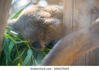 image of coala on eucalyptus tree day time.