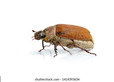 Image of cockchafer (Melolontha melolontha) isolated on white background. Insect. Animals.