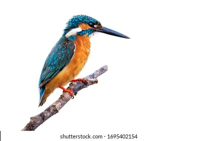 Image of common kingfisher (Alcedo atthis) perched on a branch isolated on white background. Bird. Animals.