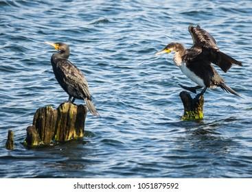 Image of cormorants in  Baltic Gulf in  Kaliningrad Region, Russia