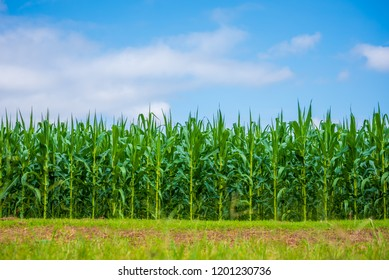 image of corn field and cloudy blue sky day time.