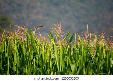 image of corn field and mountain in background.