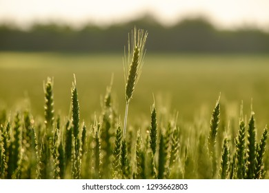 image of a corn field near Maisach in Bavaria, Germany in the evening