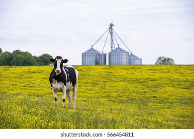 Image of a Cow in a field of yellow flowers looking at camera