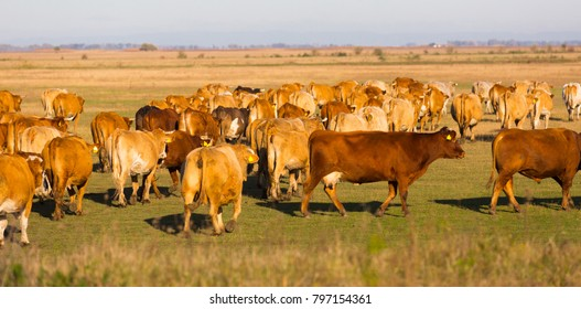 Image of cows in the steppes in hungarian Hortobagy outdoors.