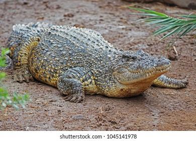 Image of crocodile on sand background. Reptile Animal
