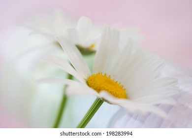 An Image of Daisy Flower