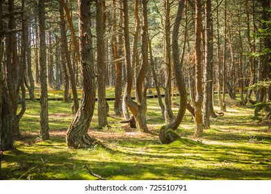 Image of dancing forest at Curonian spit in Kaliningrad region in Russia