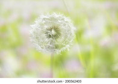 An Image of Dandelion