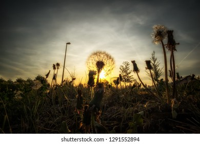 Image of a dandelion with backlight at sunset in Maisach, Bavaria, Germany