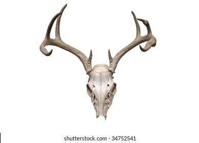 Image of deer skull on white background