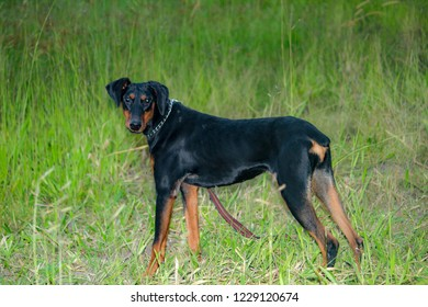 image of doberman pinscher dog in the outdoors.