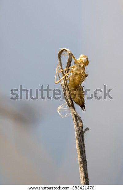 Image of Dragonfly larva dried on nature background. Wild Animals.