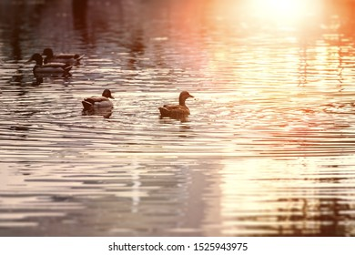 An image of ducks in a pond at sunset