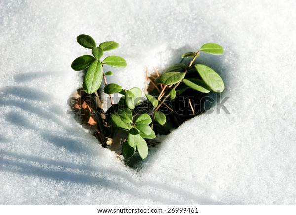 Image of early sprout appearing from melting snowcover in spring