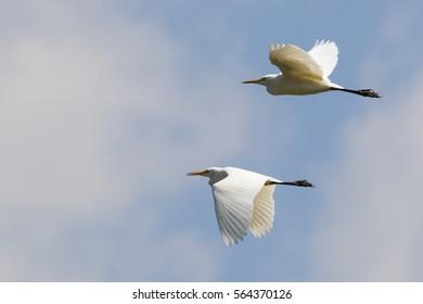 Image of egret flying in the sky. Heron. Wild Animals.