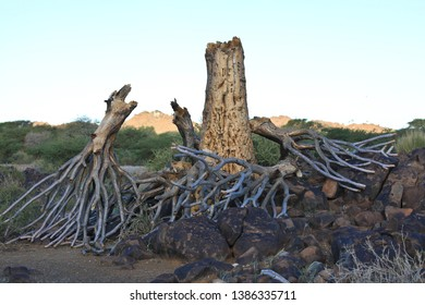 Image of the endangered quiver tree, broken in half with bare branches upside down on dolerite rocks. Quiver tree forest, Namibia