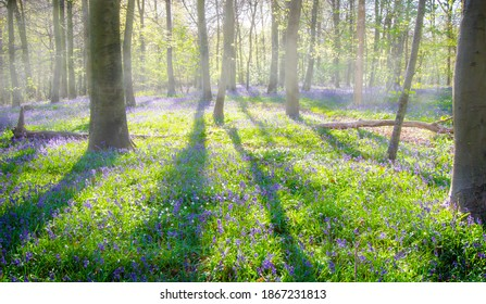 An image of English bluebells (hyacinthoides non-scripta) carpeting the floor of a beech wood. The low sunshine casts long shadows and sunbeams through the open glade.