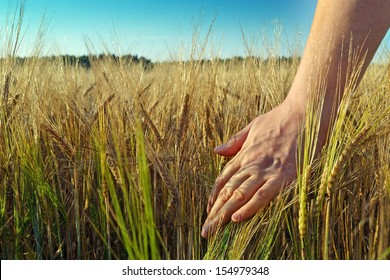 Image of female hand in the wheat field/Hand and wheat crop