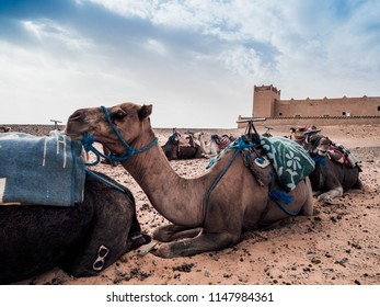 The Image fetures camels as the main subject. The camels are sitting in​ the sands of Sahara. The image was taken Jul 2018 in Sahara, Morocco, Africa.