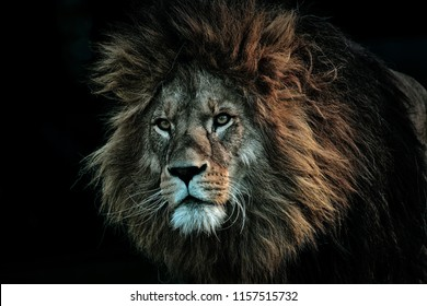 The image of a fierce looking Lion around a dark background and cool lighting.