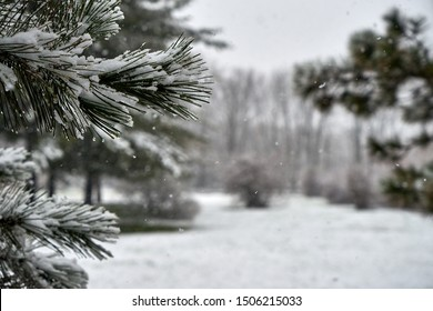 Image of fir branches under sudden spring snow.