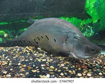 The image of fish swims in the aquarium