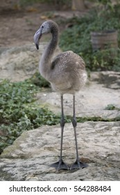 Image of a flamingo baby on nature background in thailand. Wild Animals.