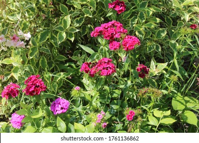 The image of flower red dianthus barbatus in the summer garden