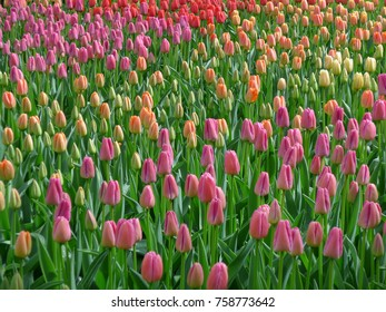 Image of flowers in Holland