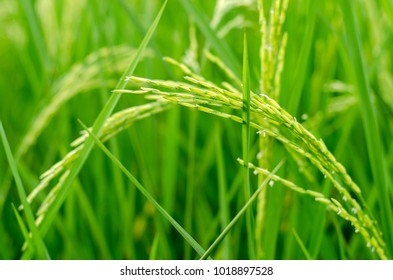 The image of fresh green rice closedup anger in the rice field background.