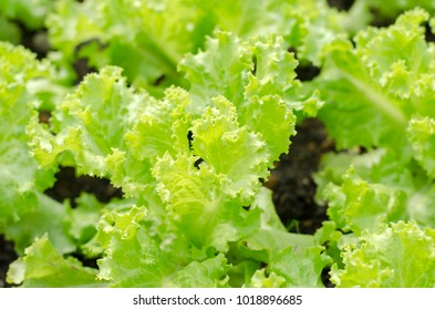 The image of fresh green salad vegetable grown up int the little farm at home.